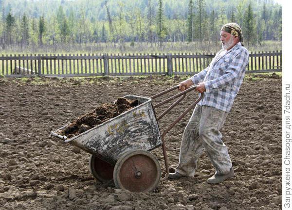 Виктор развозит перегной на поле под картошку