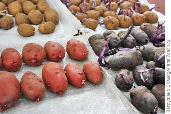 мои сорта картофеля - семена