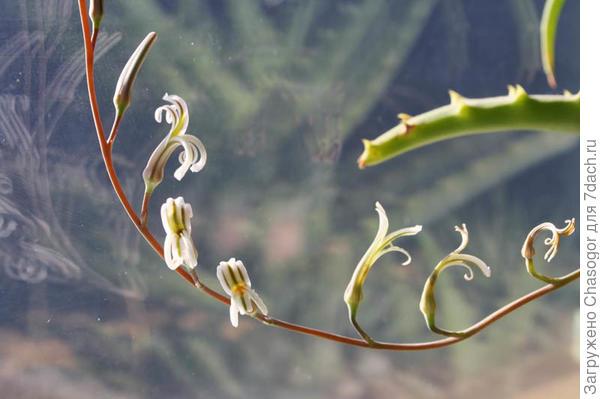 хавортия цветёт