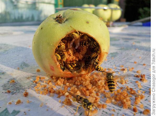 осы сожрали яблоко
