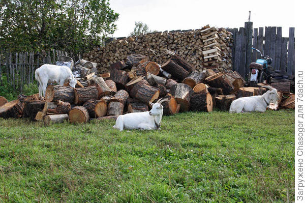 держат коз