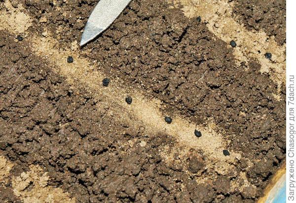 кладу семена