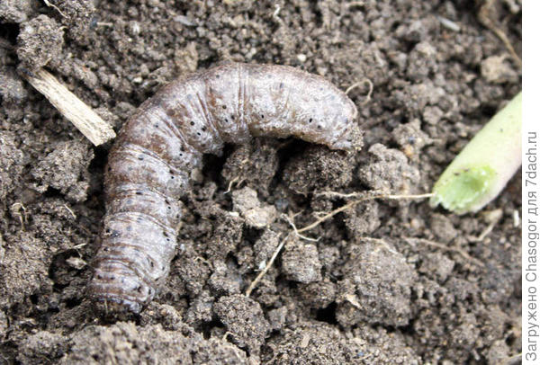 гусеница совки