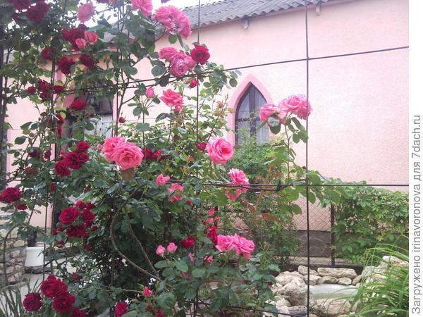 Это мои красотки плетистые красная и розовая.