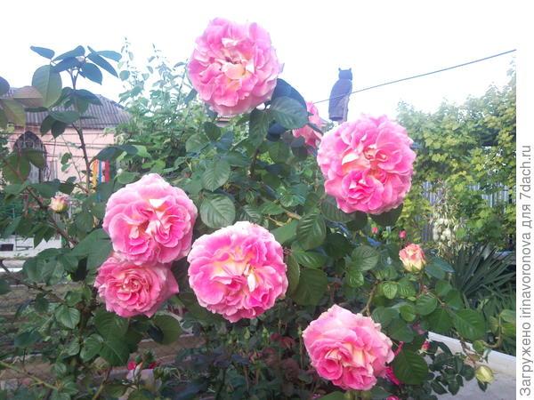 """Эти розы похожи на """"цыганские"""" с открыток, яркие и """"разноцветные"""""""
