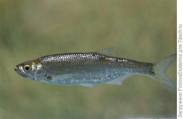 Верховка. Фото с сайта looduskalender.ee