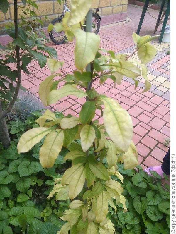 Вот  что-то случилось с кустарником ягод гуми.Он растёт у нас уже три года всегда был зелёный здоровый кустик.В этом году хорошо перезимовал и вот весной распустились цветы,но они увяли и позже листья начали светлеть.....Удобряли и под корень и листья,стимулятором брызгали и фунгицидом брызгали и инсектицидом брызгали.....Реакция нулевая.