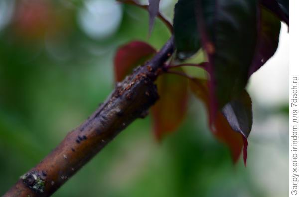 Привита декоративная яблоня