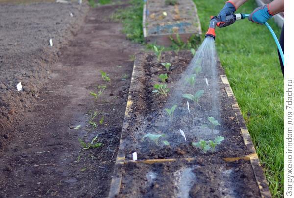 Порадую капусту освежающим душем