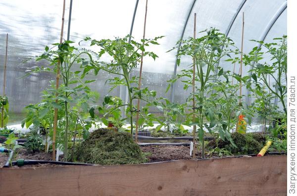 По неизвестной мне причине скошенная трава саморазогревается и не дает замерзать растениям в теплице