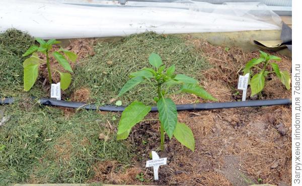 Три растения сорта Медный Всадник