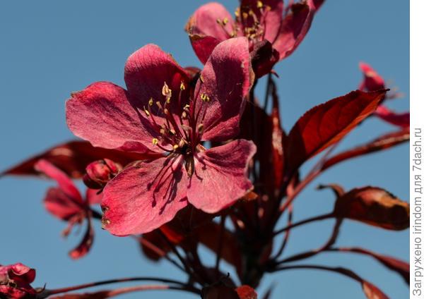 Декоративная яблоня Макамик