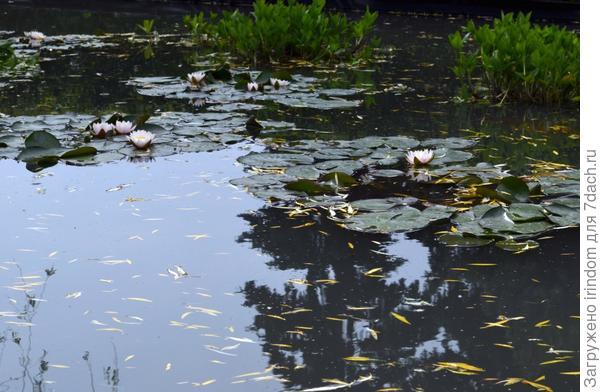 Понравился пруд с лилиями