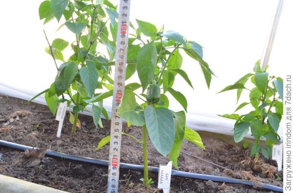 Высота растений см