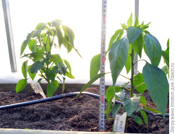 Высота растений около 30 см