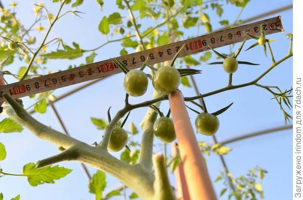20-25 плодов в одной кисти