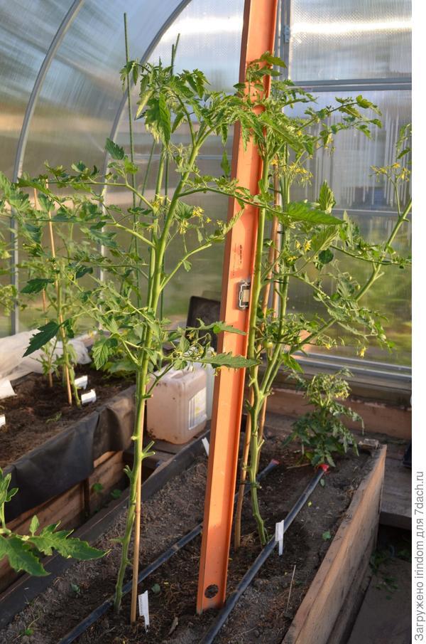 Все три растения хорошо развиваются