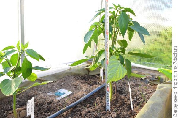 Два других растения обогнали его в росте. 35 и 40 см соответственно.