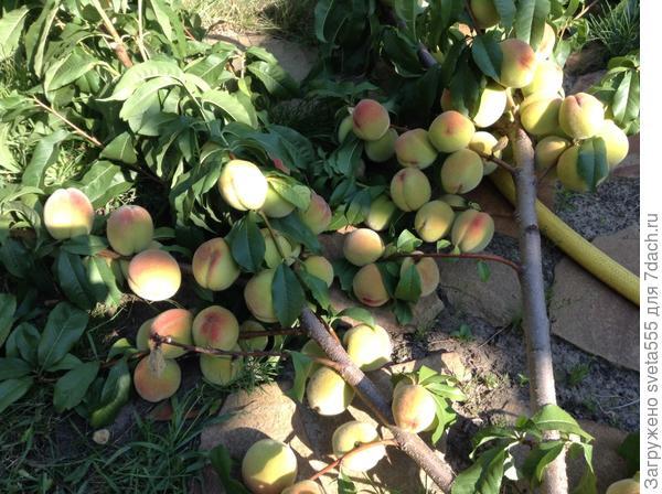 Поломанный персик