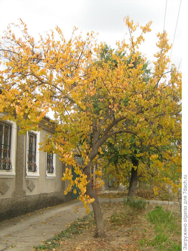 дерево  абрикоса первое  дарит  нам  золото  осени...