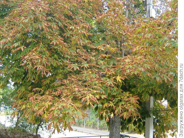 осень  раскрасила  все  деревья :  красавец - каштан!