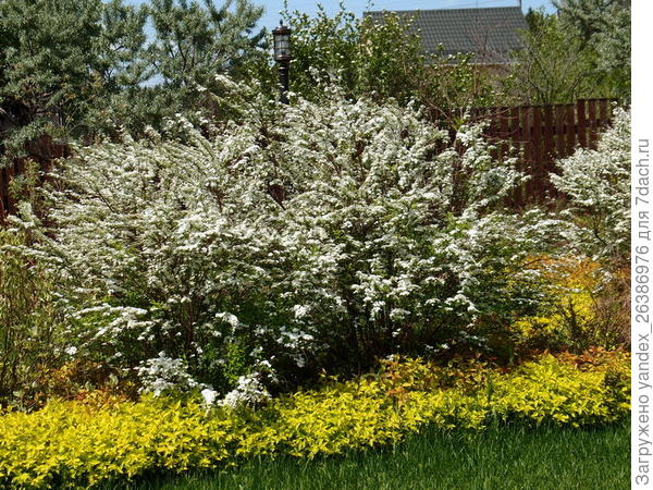 Спирея серая, цветение май-июнь (зависит от погодных условий)