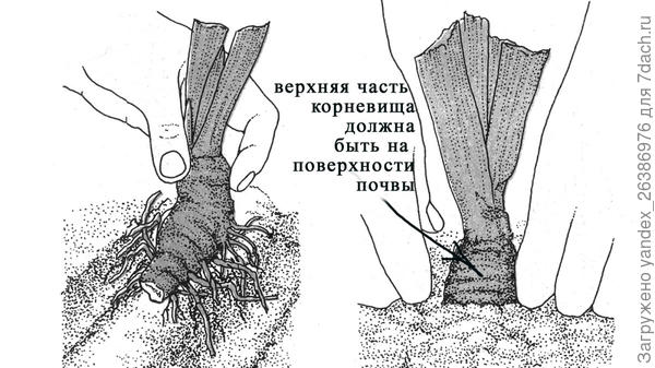 Пересадка ириса