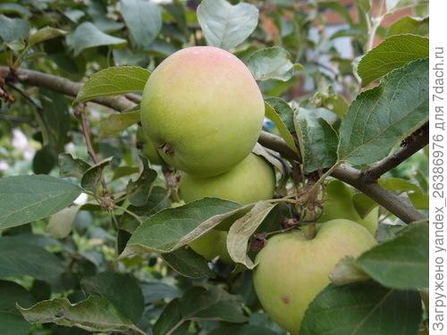 Плоды почти созрели, но не окрасились