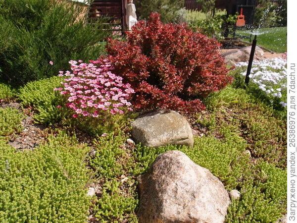 Камнеломка с розовыми цветами, очитки зеленые