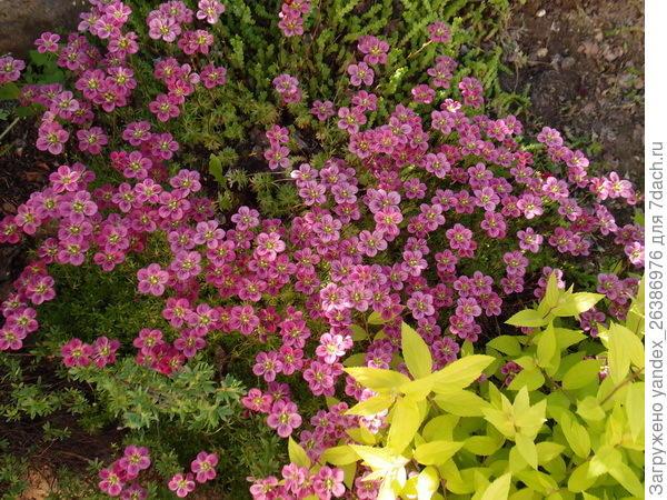 Камнеломка цветет