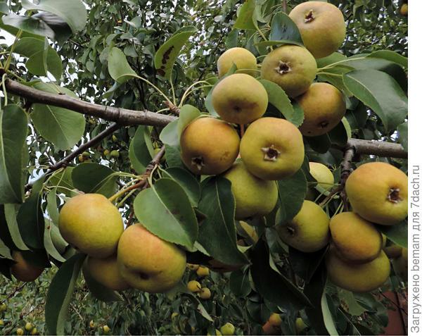 Первый год плодоносит груша.