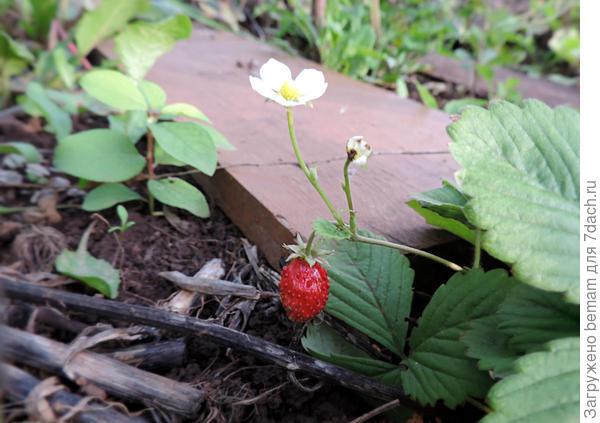 Борон Салимахер. Вырастила из семян. Нда.... Диво-дивное... Такие маленькие ягодки,что вкуса не почувствовала.