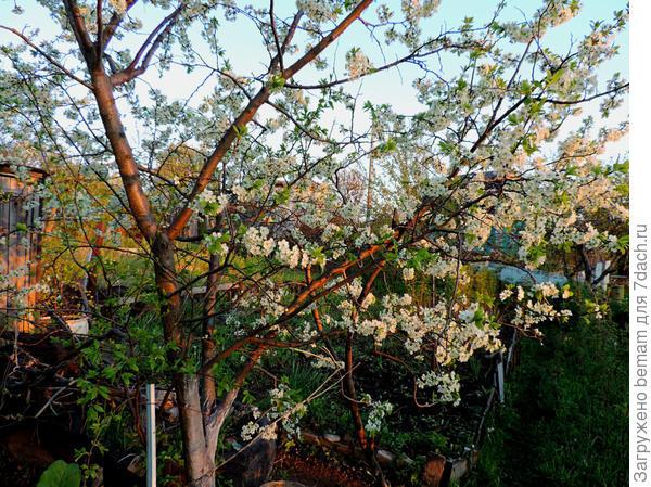 Слива цветёт.