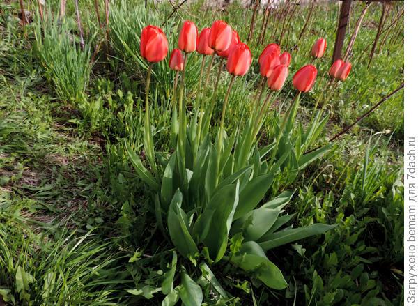 Тюльпаны растут в малине. Нравится им здесь. В цветнике замухрыжки. Пыталась пересаживать,но они с завидным упорством возрождаются в малине.