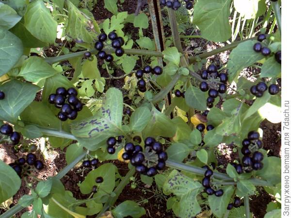 Садовый паслён. Выращивают рассадой,как помидоры. Кусты очень урожайные на плодородной земле Хватает пяти кустов чтоб собрать 7литровое ведро.... А больше не надо. Сырая ягода не вкусная....