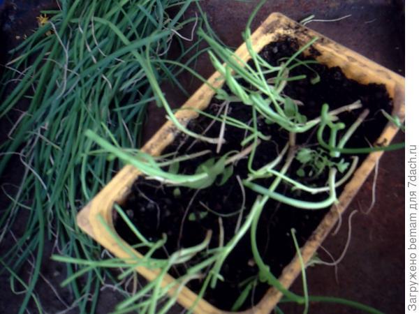Подрезали рассаду лука.