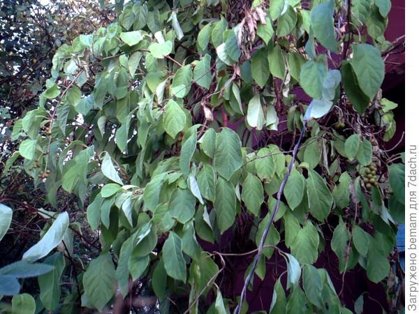Ягодки зелёные... Поспеют к осени.