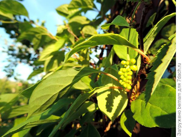 Завязались плоды лимонника.