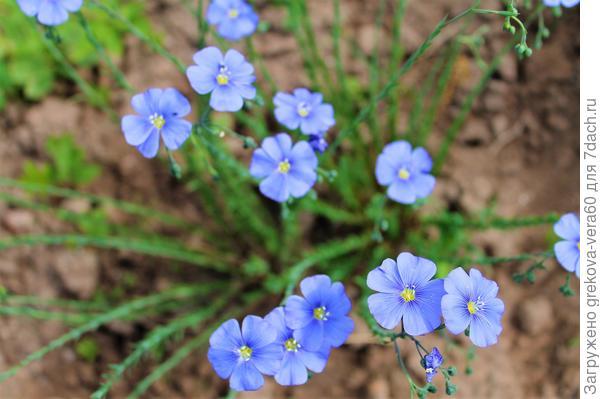 миленькие голубые цветочки на тонких веточках