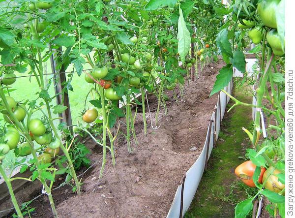 томаты на шпалере