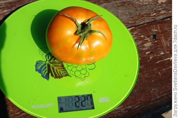Вес одной помидорки