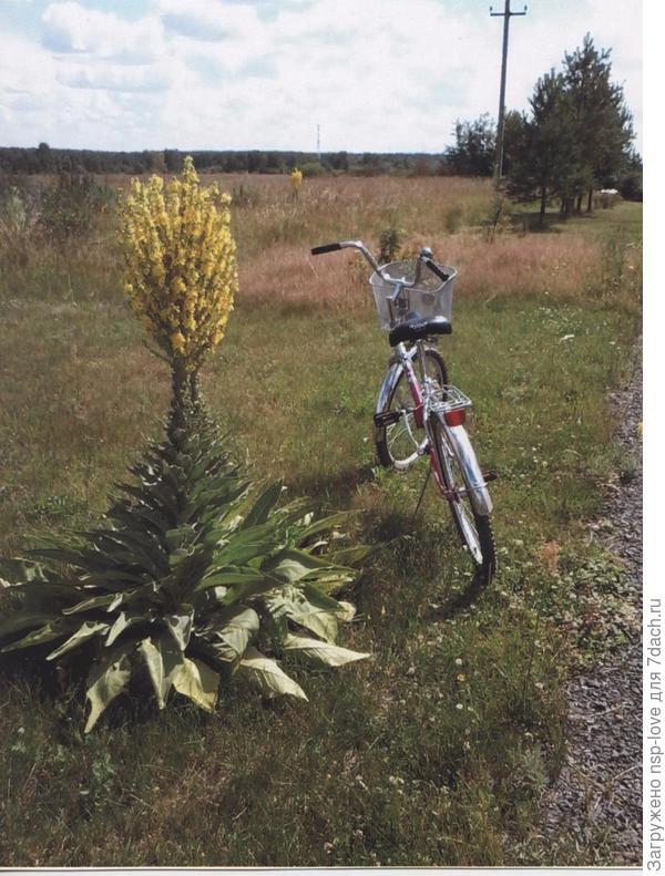 очень необычное растение и растет у дороги