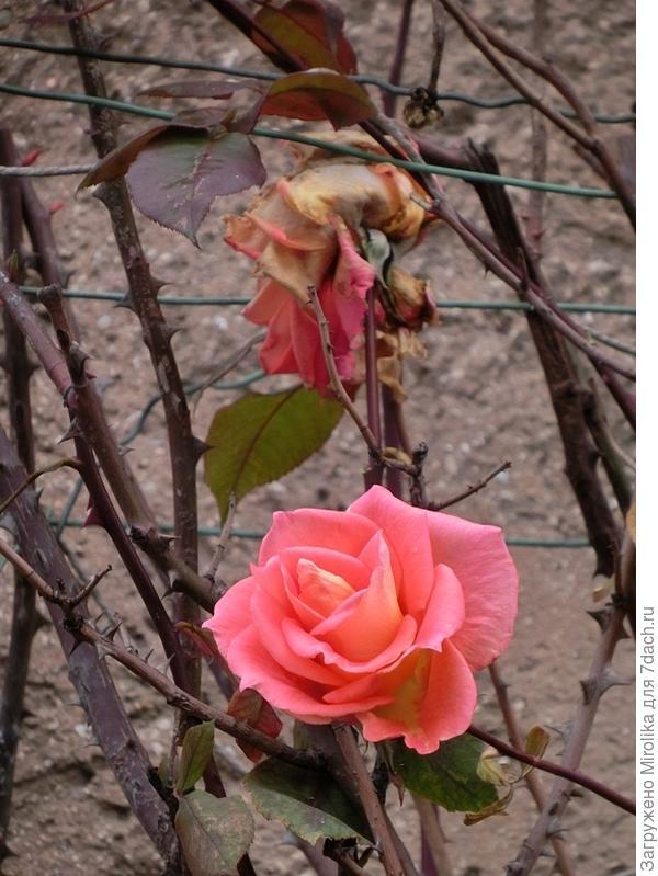 цветущая в декабре роза