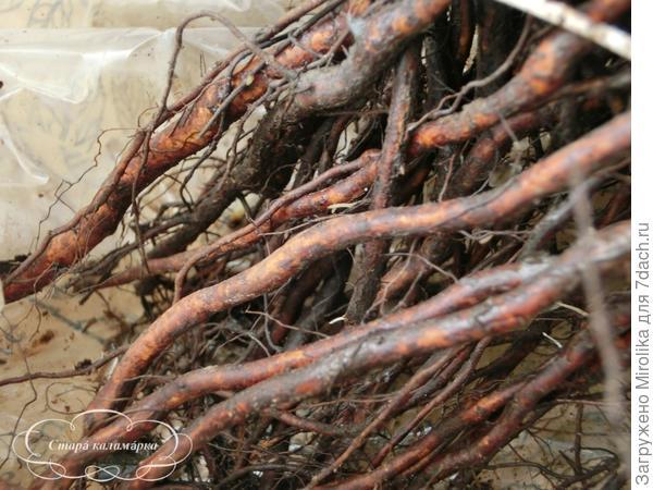корни обмазаны глиной