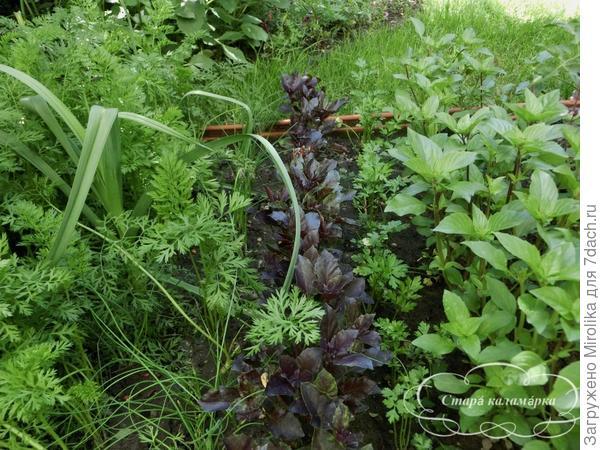 синий базилик настоящее украшение огорода и цветника