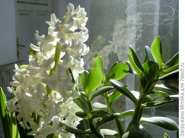 На окне гиацинты