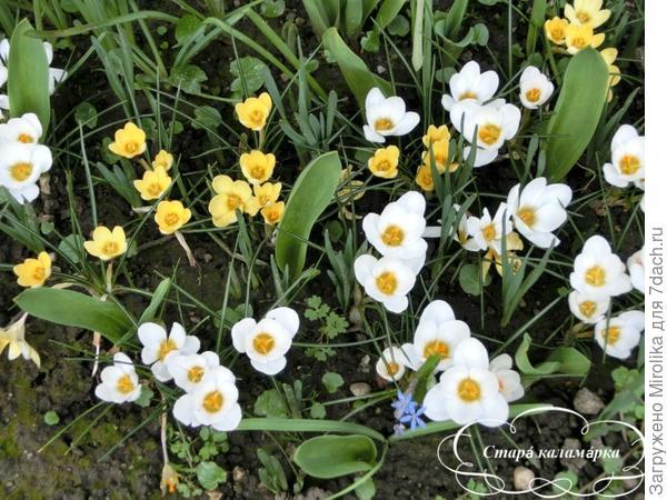 Ботанические крокусы в прошлом году