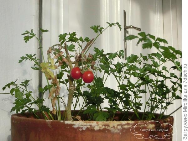 балконный томат