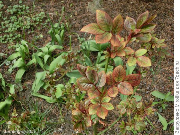молодая листва роз