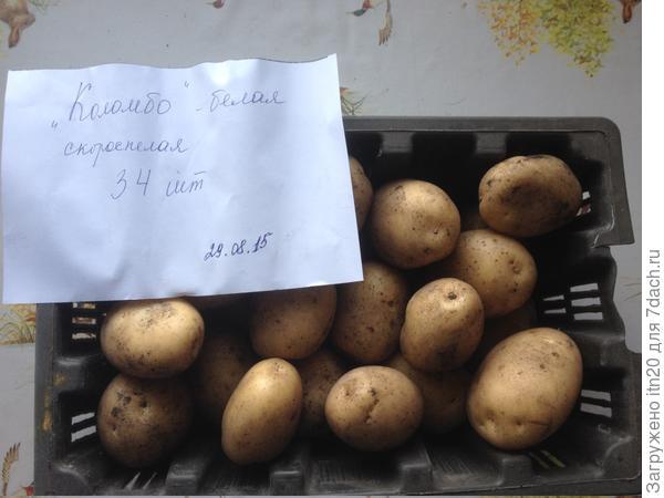 Коломбо - довольно ранняя.В 2016 мы всю картошку посадили 4 июня, 14 августа уже подкапывали на еду. Есть еще один сорт - даже более ранний, чем этот, тоже белый - его подкапывали уже 6 августа.